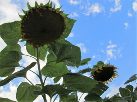 Photo of two giant sunflower heads.