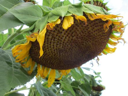 Photo of drooping, giant sunflower head.