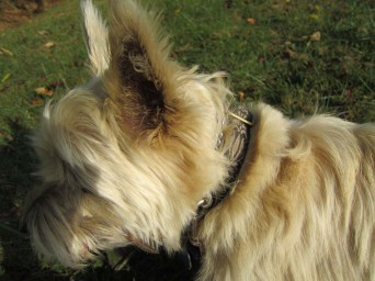 Poorly framed photo of Cairn terrier.