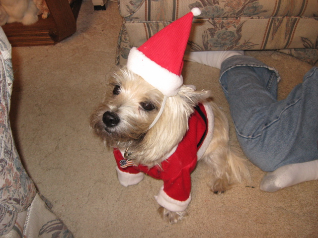 Unhappy terrier wearing Christmas Santa outfit.