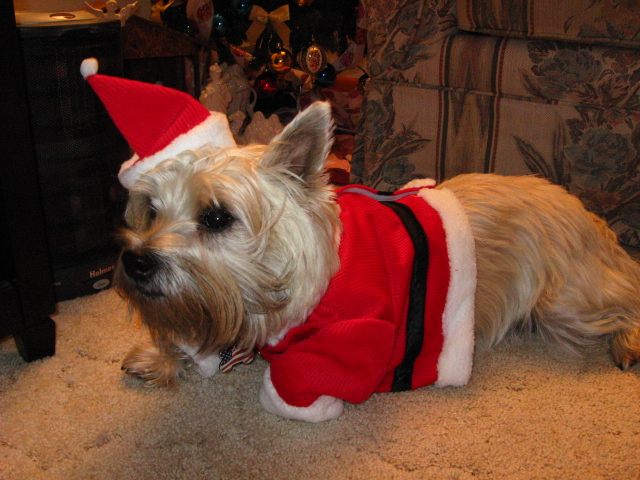 Unhappy terrier lying down while wearing Christmas Santa outfit.
