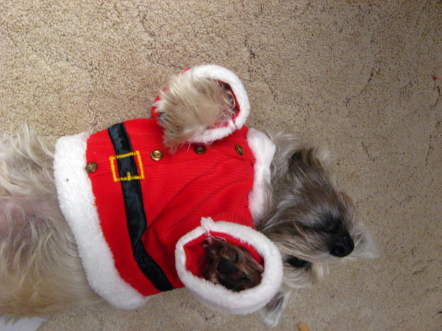 Unhappy terrier playing dead while wearing Christmas Santa outfit.