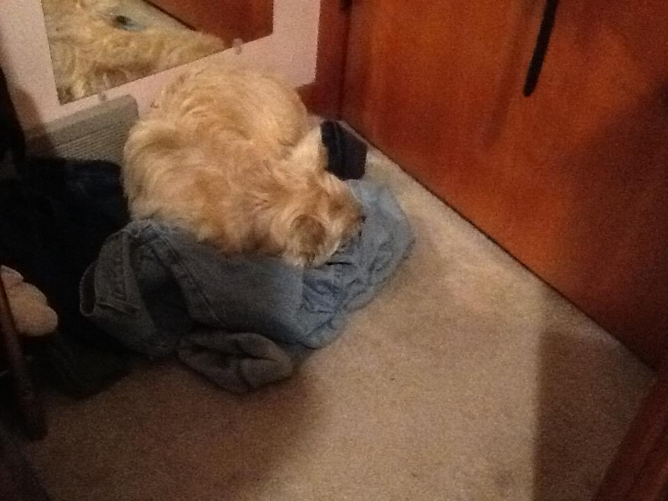 Cairn terrier sleeping in laundry