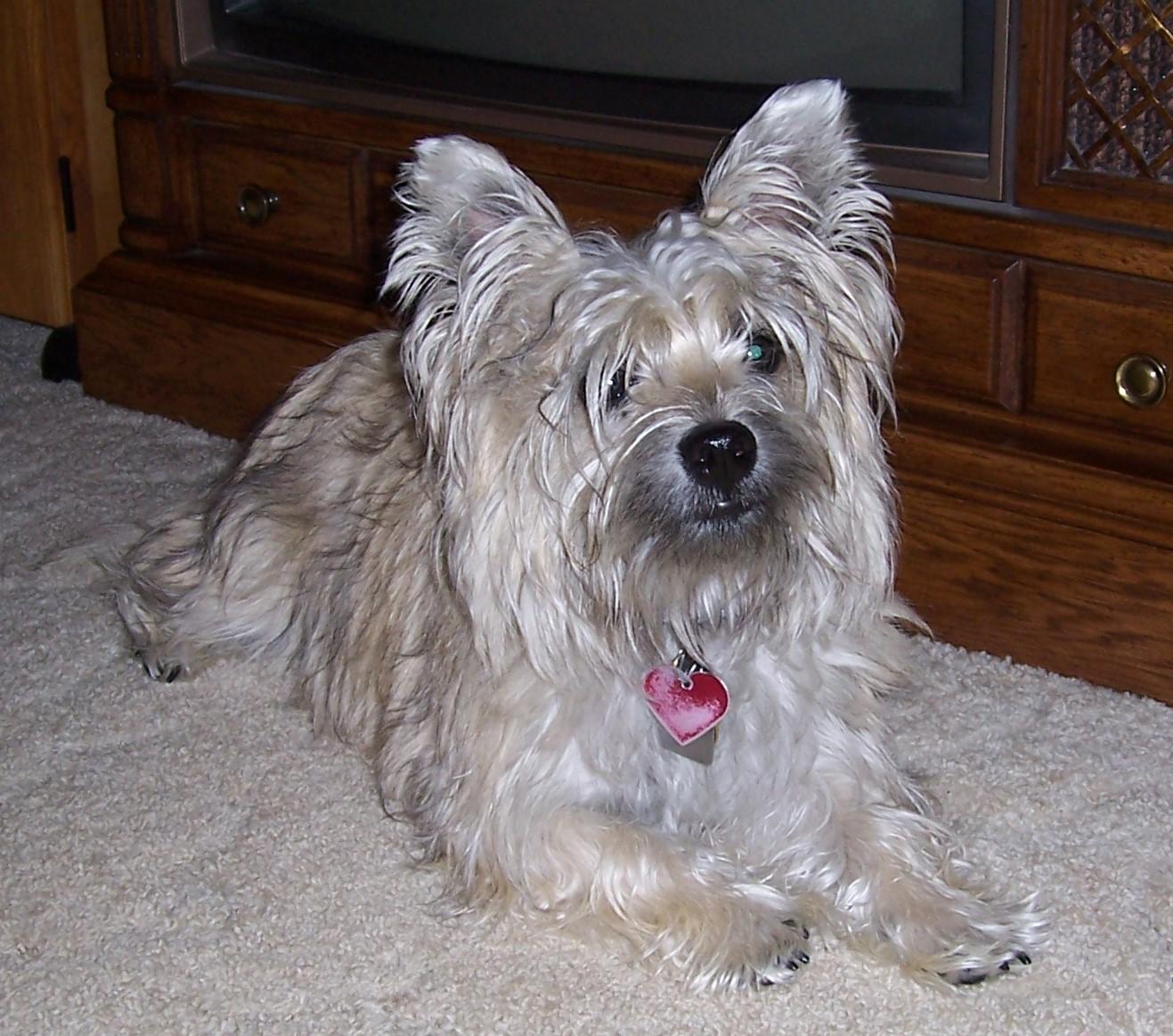 Untrimmed Cairn Terrier