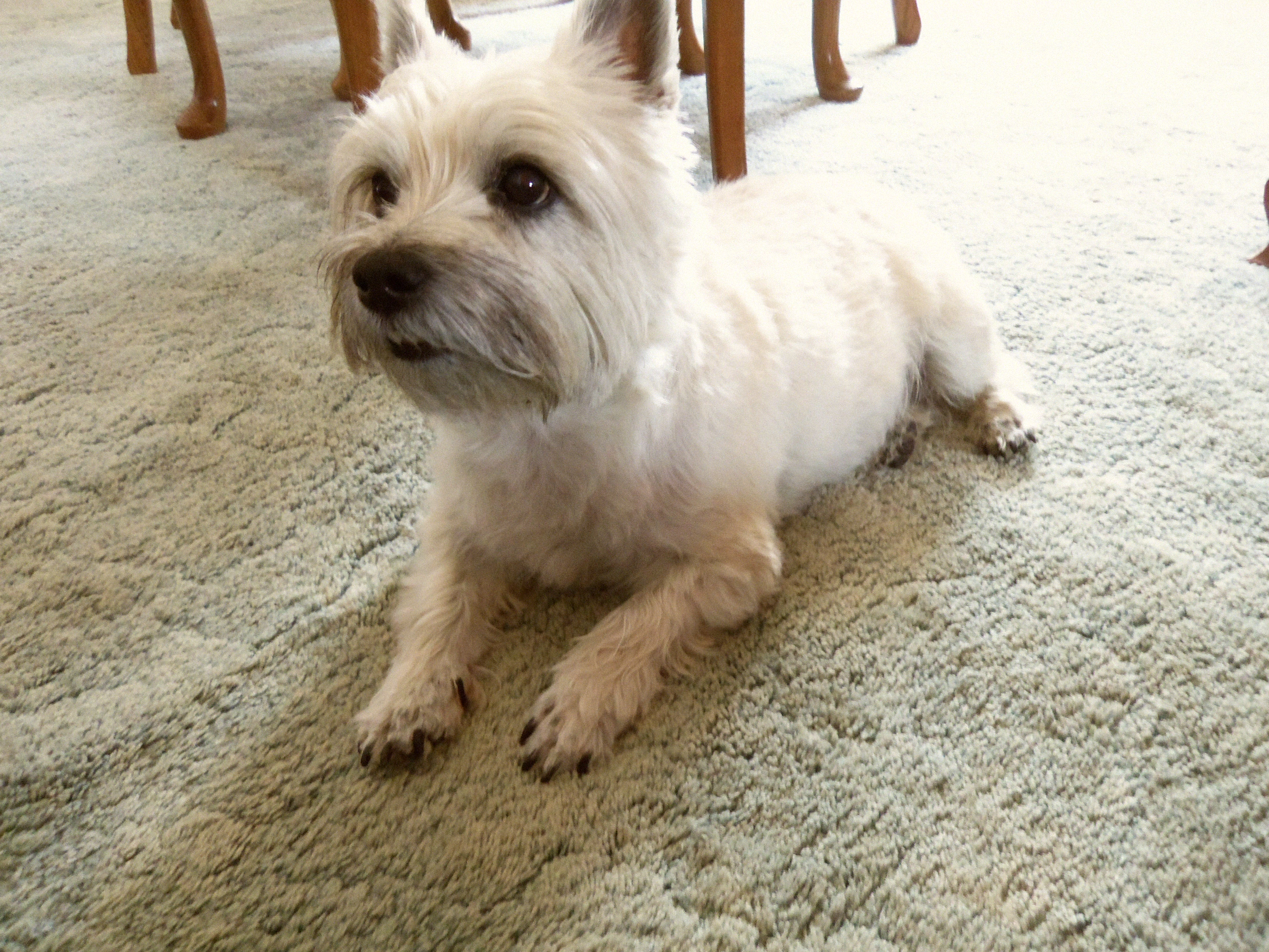 Neatly trimmed Cairn terrier