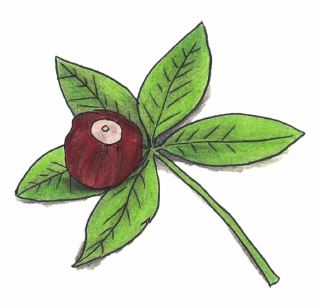 Drawing of a buckeye