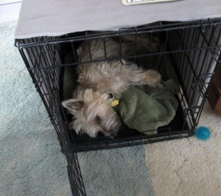 Cairn terrier sleeping in kennel.