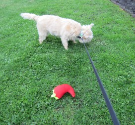 Cairn terrier allows his stuffed chili pepper toy to go pee.