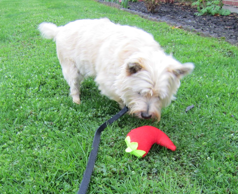 Cairn terrier approaches his stuffee chili pepper toy.