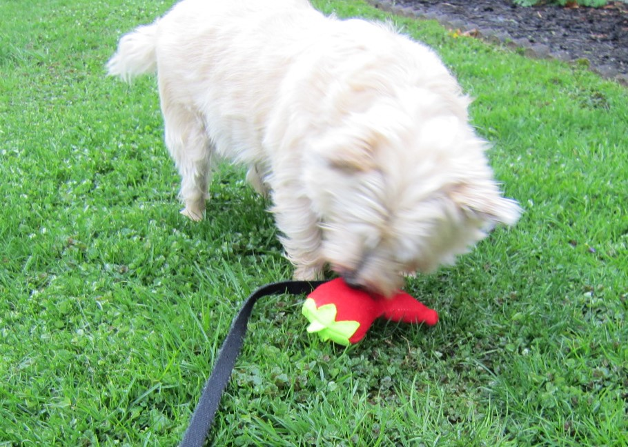 Cairn terrier touches his stuffed chili papper toy.