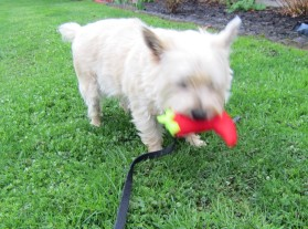 Cairn terrier carries his toy chili pepper.