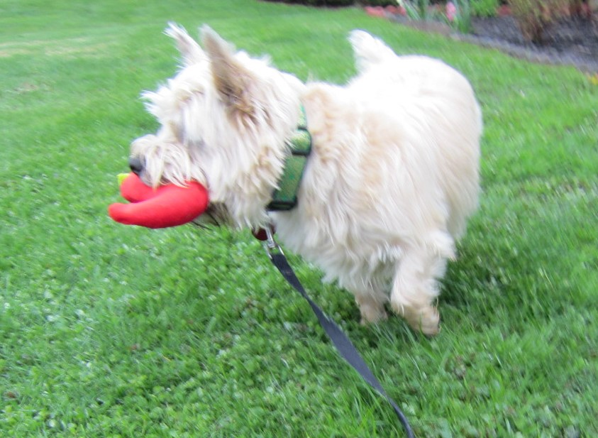 Cairn terrier gazes off into the distance while hoding his stuffed chili pepper toy.