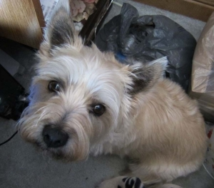 Cairn terrier looks up at the camera.