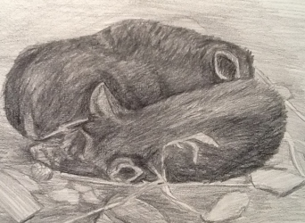 Sketch of two pigs sleeping in straw.