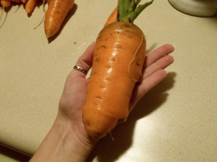 Short, fat, carrot