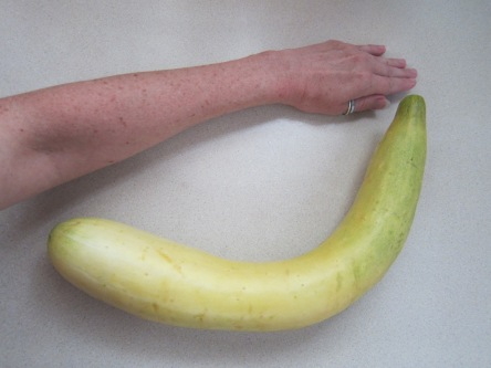 Huge yellow cucumber
