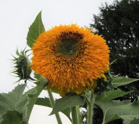 Clse up of a sunflower with too many petals and no seeds.