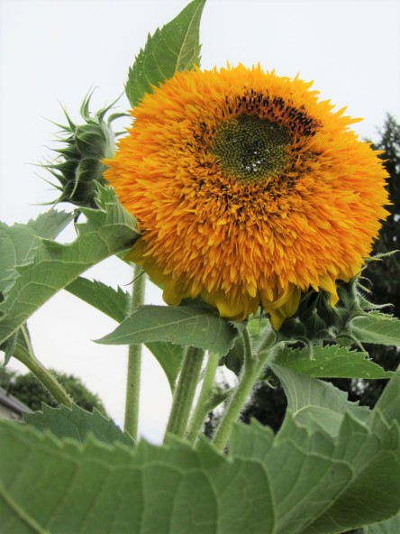 A sunflower with too many petals and no seeds.