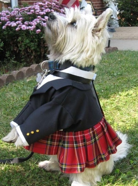 Terrier wearing a kilt.